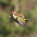 This is a weasel riding on a woodpecker. Best photo ever, right? http://t.co/OL4yqpKwOX http://t.co/lxlOvBPZnT