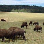 Beefalo: o híbrido de vaca e bisão que ameaça o Grand Canyon http://t.co/Lf3uJ54ueB http://t.co/S0fA42my0v