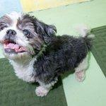 You guys! This is Zeke http://t.co/BviSc1wq37 #adopt #seniordog #shihtzu #hsny #nyc http://t.co/AyVDOTX53a