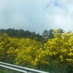 Entrada maravillosa en Galicia con todo el monte verde y amarillo de la acacia. Hasta la vista Madrid, fue un placer http://t.co/7LCl1cBbKr