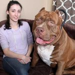 173-pound pit bull stands as tall as his owner when lurching on his hind legs http://t.co/PjdzwOp24U http://t.co/Se3dveoyhh
