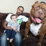 Meet Hulk, the worlds biggest pit bull! He weighs 175 pounds. http://t.co/0mrhKMcpto http://t.co/aCm5nfaNvA