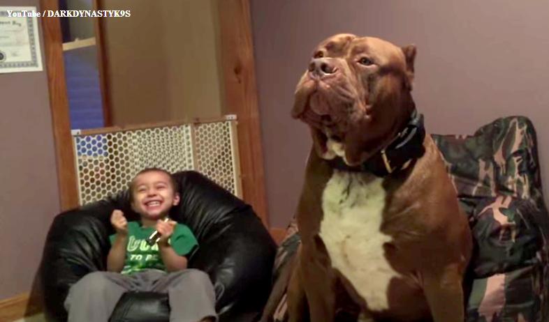 Meet Hulk The 175 Pound 18 Month Old Pit Bull