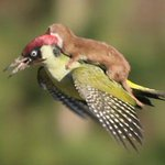 "#InternacionalesDLP Comadreja ""vuela"" sobre un pájaro carpintero http://t.co/gos7Pwx3DK http://t.co/JHbkXxt5gX"