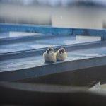 イタチを乗せたキツツキが話題ですがこちらのスズメを御覧ください。(・ω・)(・ω・)↓(・ω・)(・…