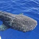 Whale shark spotted in #WatamuKenya yesterday.The largest harmless fish in the ocean @MagicalKenya @kwskenya http://t.co/X6AUsGovZX