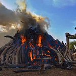OBBO: Don't burn tusks; sell them cheaply to beat poachers and save elephants http://t.co/0vES8HnGK5 @cobbo3 http://t.co/1RskhOqFxJ