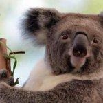 El secreto que Australia no pudo esconder: mataron a 700 koalas http://t.co/DBwUhTTmjx http://t.co/MoHlEbnwVd