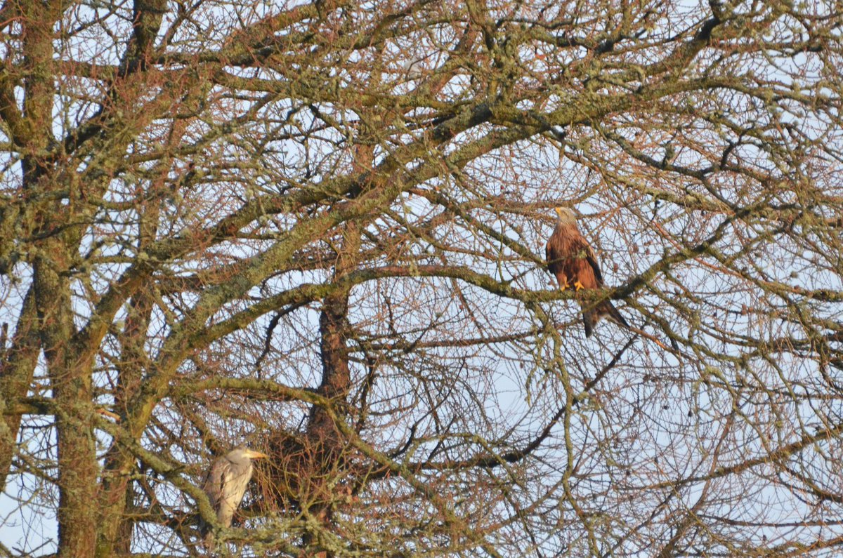 #Redkites are nesting in Llanwrthwl - and a heron decided to visit their nest this morning…..@RxNature @_BTO http://t.co/LxkTT4j8bl