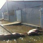 """Inundaciones #Ebro, animales agonizando, voluntarios intentado rescatarlos...Respuesta Administración:""""llamad mañana"""" http://t.co/RxzY1GjOkk"""