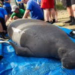 .@SeaWorld #Orlando Returns Rehabilitated Manatee to #Tampa Bay Waters ~ http://t.co/qPNnLJi8Dm @SeaRescueTV http://t.co/9Zd8wC6Lqa