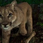 Mountain lions in Santa Monica Mountains appear to be well and thriving in new photos http://t.co/4D4giThxhT http://t.co/2C3I0PL8oi