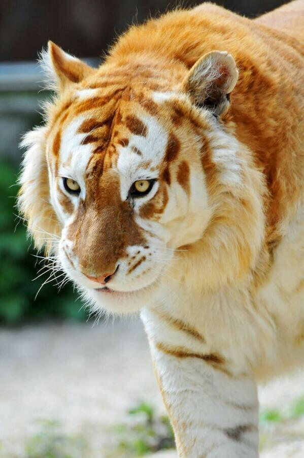 "The extremely rare ""Golden Tiger"": http://t.co/T1Ytwd98Cd"