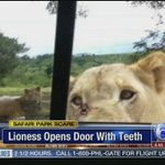 CAUGHT ON VIDEO: Lioness opens car door with her teeth http://t.co/fzwNS9bNYG http://t.co/89gfq6fNIu
