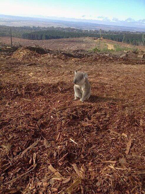 This is a real photo of a koala who just discovered his home had been cut down: http://t.co/bxgNO8oVtQ
