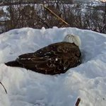 The eagles have made a white nest out of the snow that covered it. http://t.co/xXEHtJMcVL http://t.co/GXeEKhm0Le