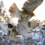 Holy crap! Better than the eagle cam. #hawks #birders RT @k8penn: Snowy birds over a snowy city  #iloveyorkcity http://t.co/8yDTuS2XIl