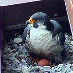Surge, the Sheraton falcon - is dead. Cause of death... a broken heart #HamOnt http://t.co/ihabxX9leB http://t.co/Z4qtr0Duj1