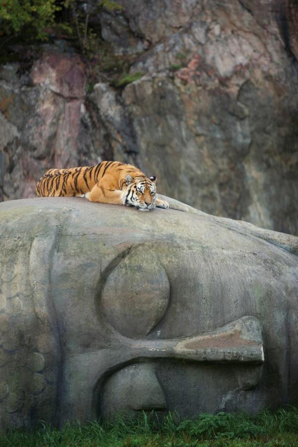 Tiger resting on a Buddha head. http://t.co/DxY6IbChjD