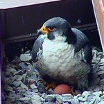Surge, the Sheraton falcon - died of a broken heart #HamOnt http://t.co/c08Jh6jhUT http://t.co/auKRfwQh1Q
