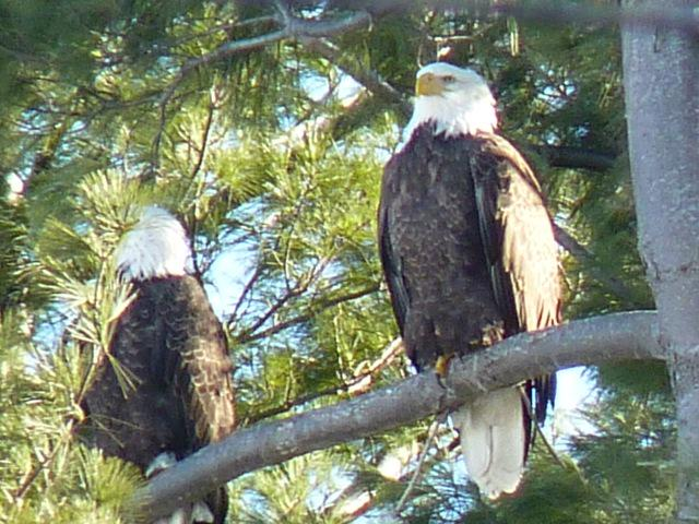 Bald eagles!  Our new W. Newton neighbors!  They've been here for a week now.  cc: @newtontab http://t.co/dsbaeWWgTP