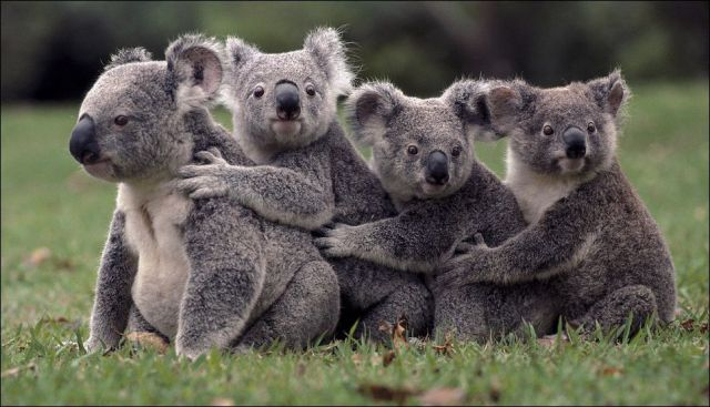 Koalas doing a train impression.  You're welcome.    http://t.co/PUBooffxs2 via @legalaware