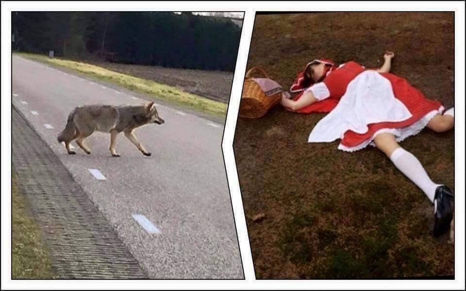 Eerste slachtoffer van de wolf is gevallen. . . Een klein onschuldig meisje uit Kaatsheuvel op weg naar haar oma. http://t.co/la6edg8d3x