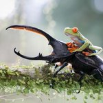 All hail, tree frog riding a beetle -- the greatest crime-fighting duo of our generation http://t.co/vJrSrmQy10 http://t.co/nqi671PzmB