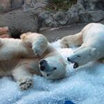 Snow day a treat for the Oregon Zoos winter loving animals: http://t.co/MDaFq1M7HV http://t.co/pKL930EV7P