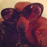 RT @mikaila: Little #dachshund Trixie trying to be Coco Chanel. ;-) http://t.co/lQxKjT1bFh