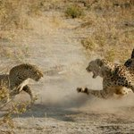 My photo of the day ! Leopard and cheater fight , somewhere in Botswana http://t.co/So63ib6St9