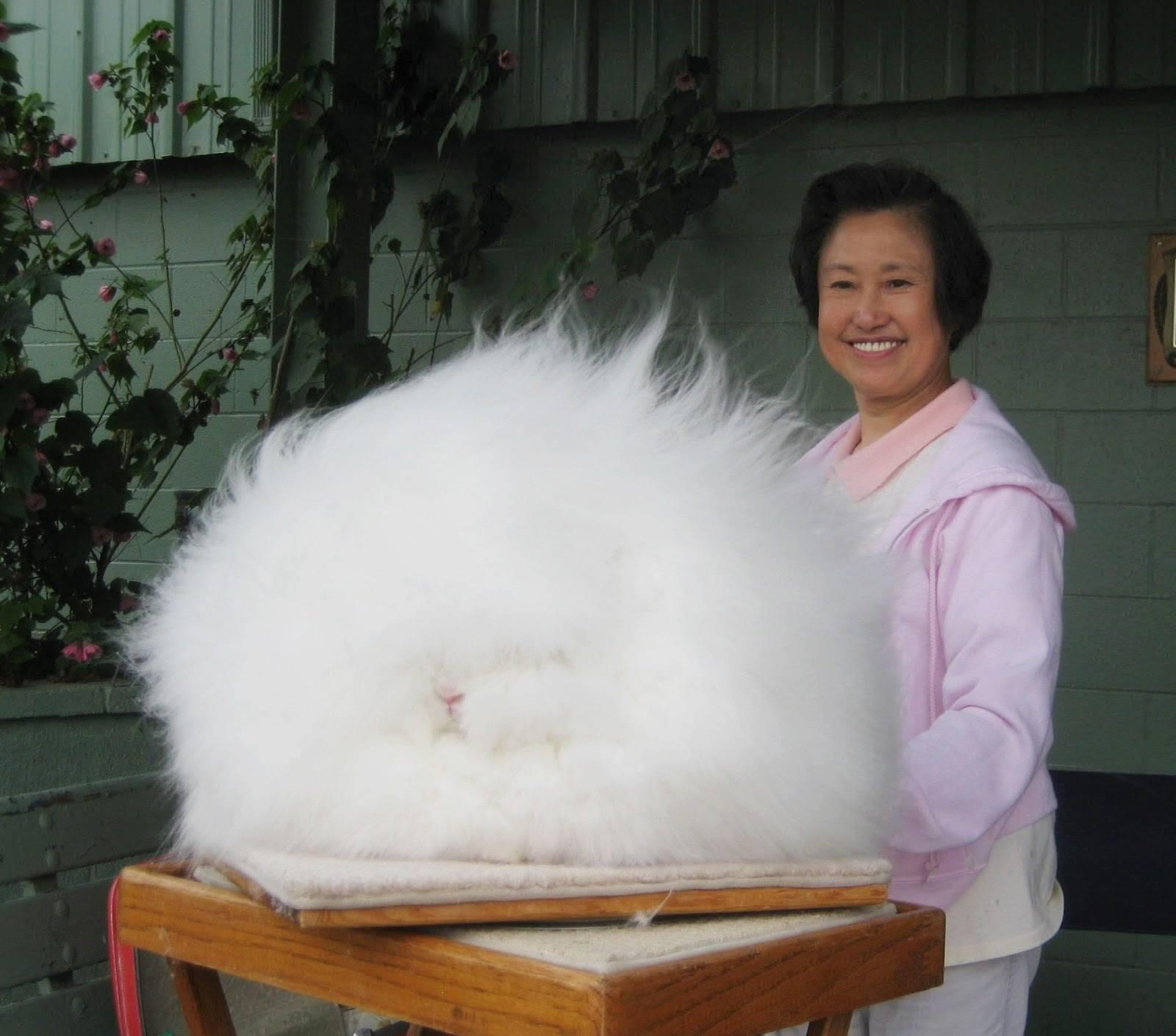 This English Angora is the fluffiest rabbit I have ever seen http://t.co/vk71TWmbCK