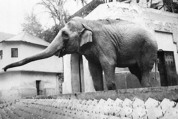 La entrañable elefanta Fresia del Zoológico de Santiago en 1990 @PARQUEMET_  @santiagoadicto @ramonllao @schwarzpablo http://t.co/wOs2A3apWh