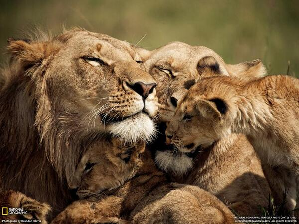 أسود وصغارهم - كينيا http://t.co/74TKE6OSdX