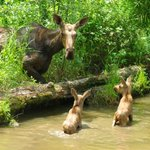 Love your moose babes @Earth_Pics Heres two more with their ma @OntarioParks #Canada http://t.co/4SmRqLt5ao