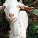 RT @morrowchris: #Smiling #Happy #GOAT #uganda  - #love #animals http://t.co/wFxoSs3OGa