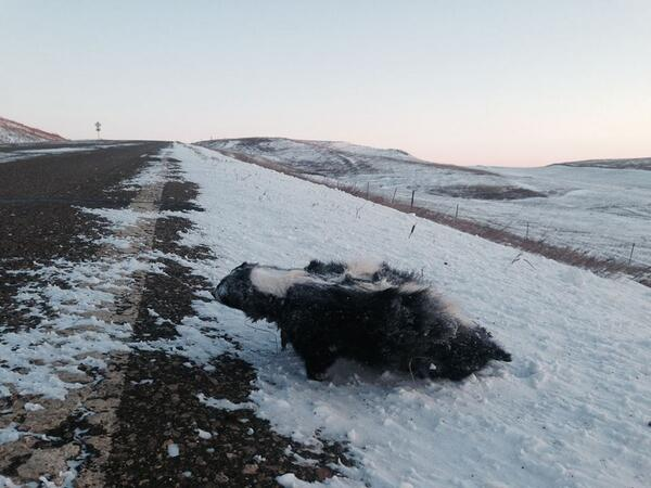 How cold is it in North Dakota? Skunks freeze standing up on the side of the road. (H/T @KevinsCorner) http://t.co/aIj46863YY