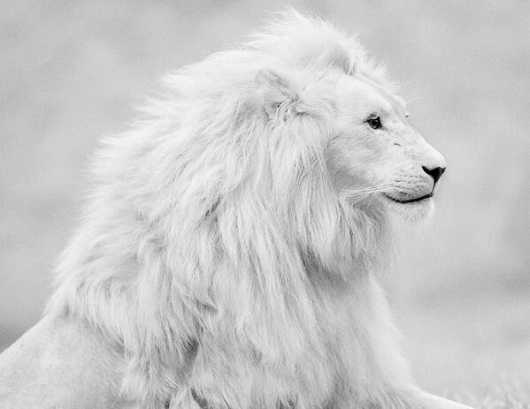 RT @makemytrip: #Wildlife: A beautiful albino lion. Can you tell us where white lions are found most commonly? http://t.co/flPUe3RnJK
