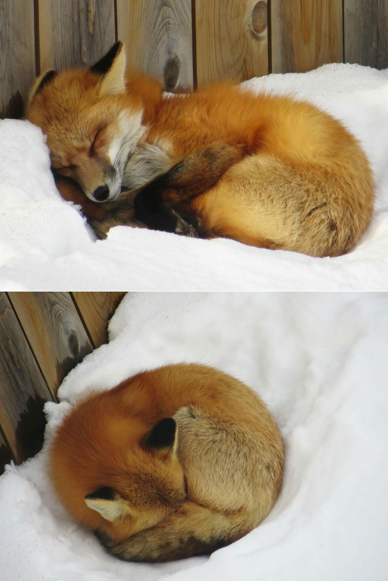 This red fox took a nap in someone's backyard http://t.co/X6fQZVPI4B