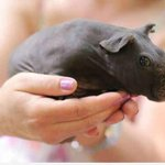 "RT @MaddyAmore: ""@UberFacts: When you shave a guinea pig it looks like a little hippo. http://t.co/qck2W05LfR"" 😍"