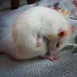 Recently captured this white mouse (a pet at frnd's place) ☺