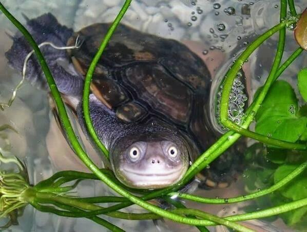 Joshua Oakley (@JoshuaStarlight): Ridiculously Photogenic Turtle  Found at http://t.co/Hut8ayCthA http://t.co/RhrmsNH5Ps