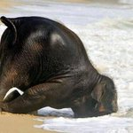 Hahaha so cute,be carefull little baby :D @IncredibleViews Baby elephant playing at the beach http://t.co/KVjjt8IuTJ