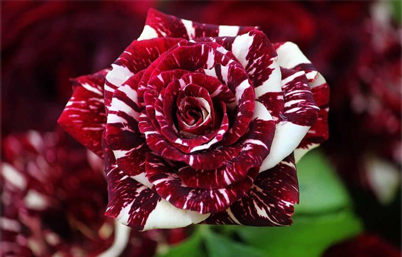 The Striped 'Tiger' Rose http://t.co/bqfniPLPtM