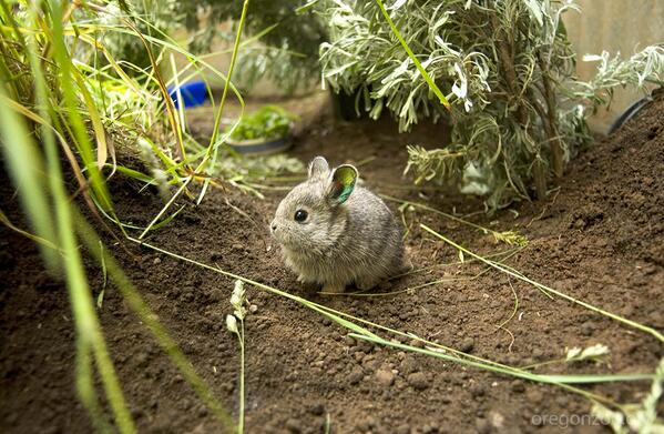 """Pygmy Rule of Cuteness Alert! RT """"@OregonZoo: This Columbia pygmy rabbit made possible by Endangered Species Act. http://t.co/UPB55F3XiF"""""""