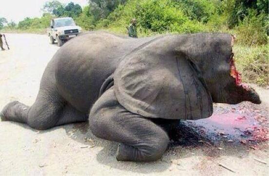 ひどすぎるだろう RT @vegetarian_kei: 象牙の為に生きたまま顔をえぐられる象の姿が忘れられない。 http://t.co/86RkZN8Mdh