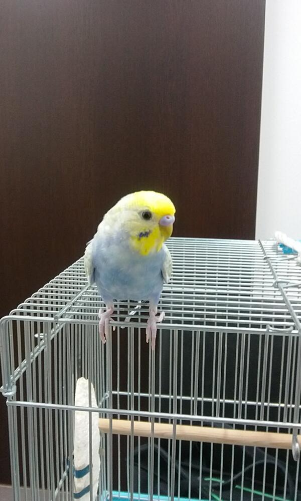 頼まれてます!笹塚3丁目のコンビニ辺りで、青と黄色のセキセイインコが逃げてしまったそうです。情報または確保しましたら、お知らせ下さい。人なつこく、鳥太郎と喋るそうてす!お願いします! http://t.co/EVYg84ATBf