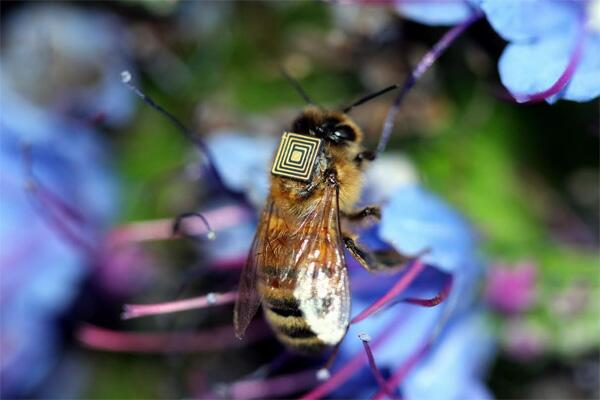 Scientists outfit bees with RFID backpacks to study colony collapse. http://t.co/g5SqlTHVnG http://t.co/opE8khntl6
