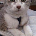 RT @nature_orange: RT #山口県 #下関市 #迷子猫 @ketitaeinyam: 【拡散希望】友人が #迷い猫 保護。うどん屋さんに迷いこんだらしい、保護時はリードなし。毛並み良いので飼い猫ではないかと思います。心当たりのある方ご連絡を! http://t.co/JyfrOoqigK #猫