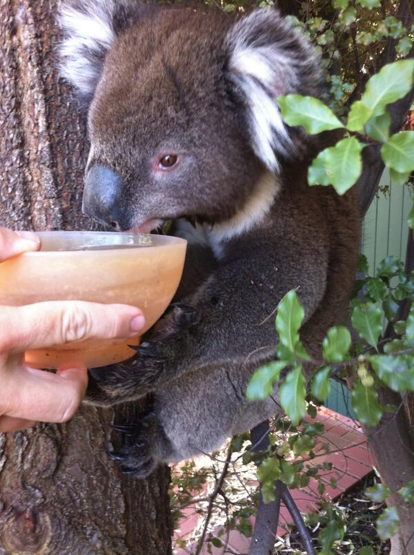 I got home and found a thirsty Koala. Today is 43ºC (109ºF) in #Adelaide. http://t.co/YsqmjHf0pB